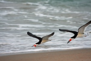 Black Skimmers on Ocracoke.. Photo: P. Vankevich