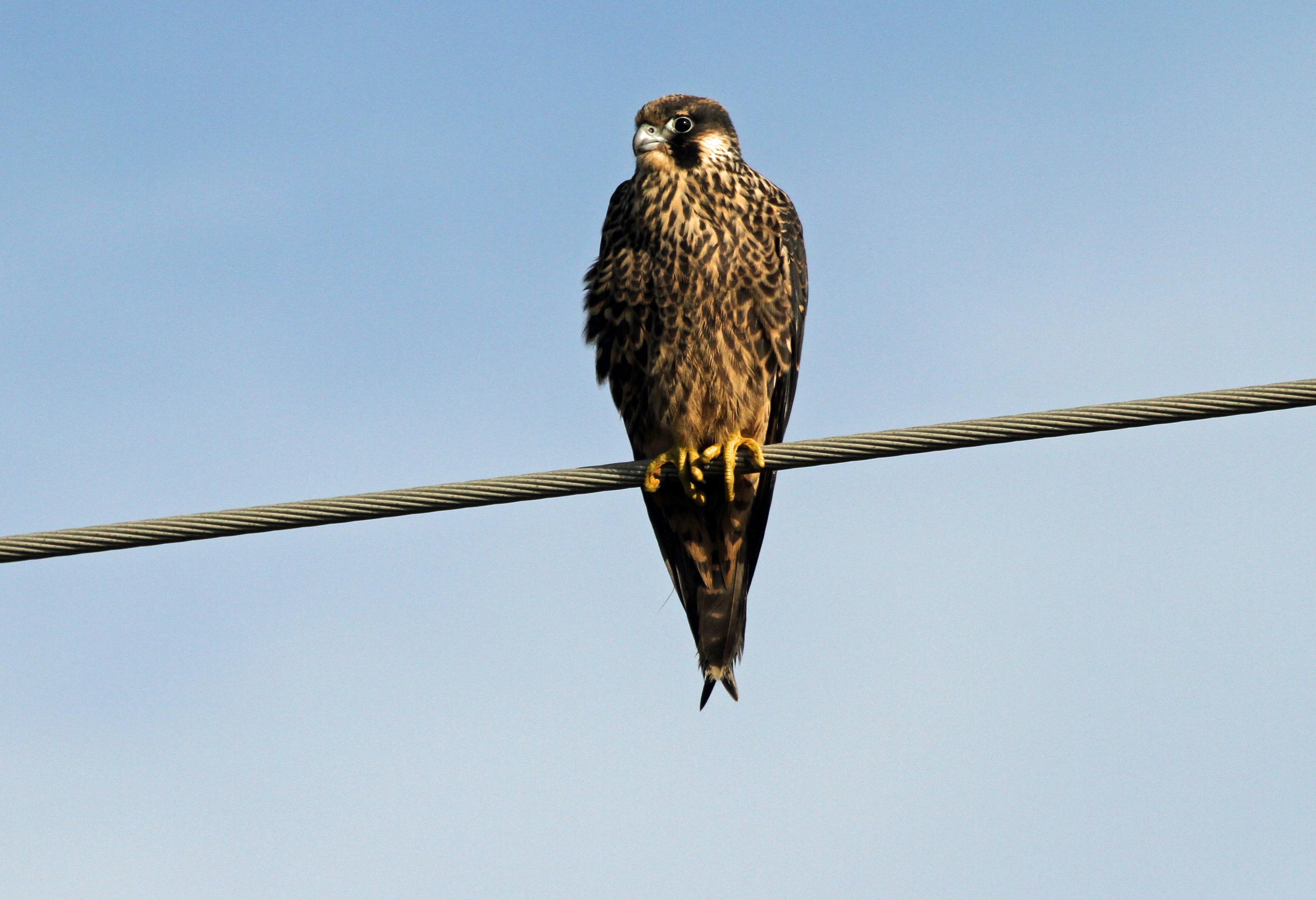 observed on ocracoke peregrine falcons lots of em. Black Bedroom Furniture Sets. Home Design Ideas