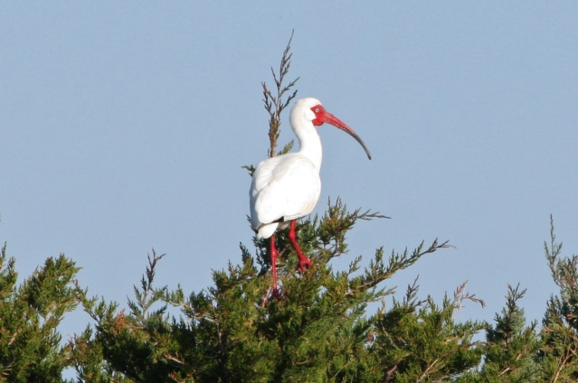 American White Ibis perched in cedar tree on South Point Rd. Ocracoke. Photo by P. Vankevich