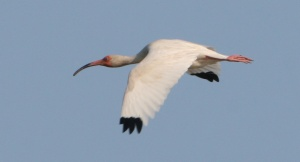 American White Ibis. Photo by P. Vankevich