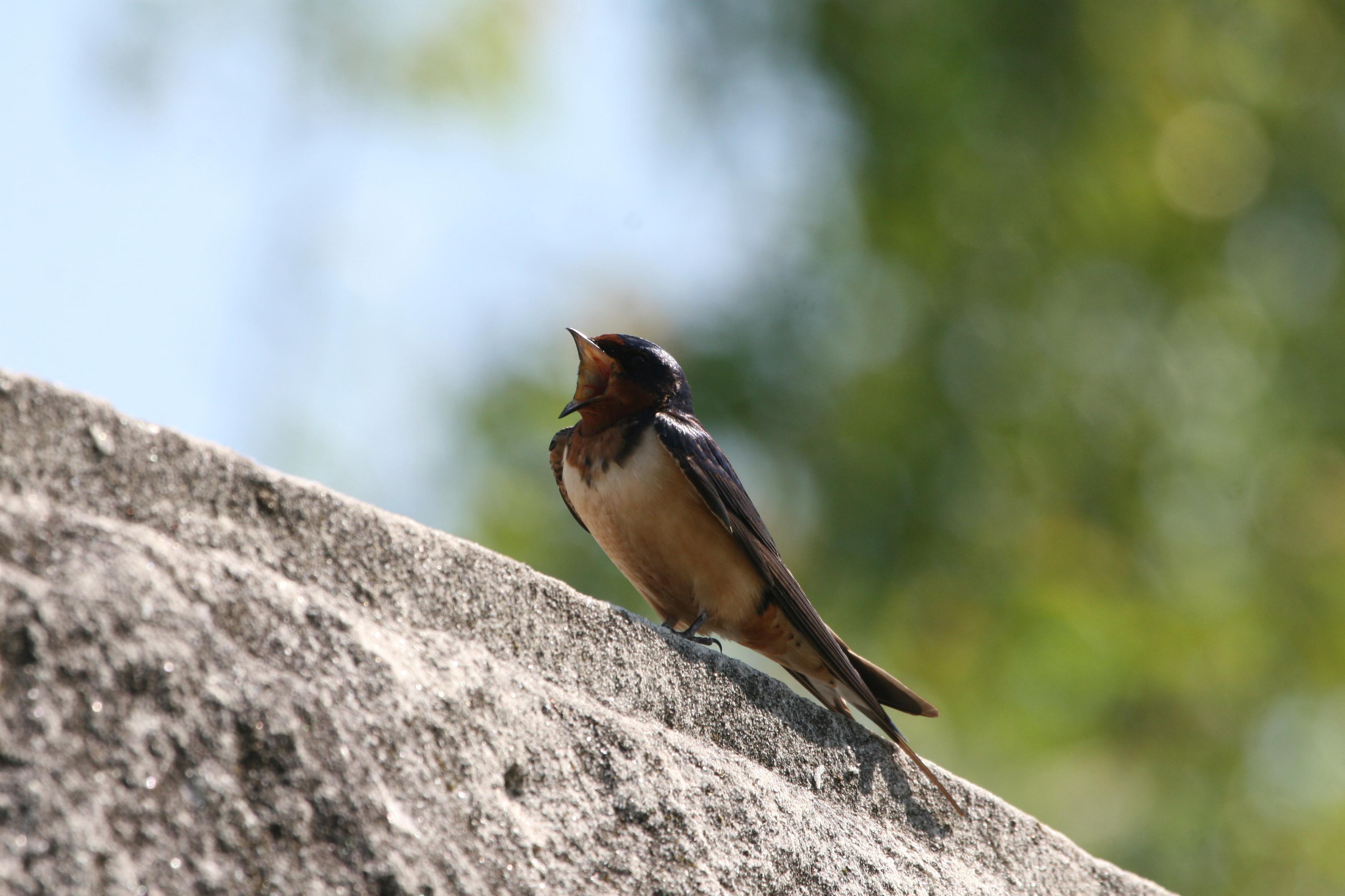 Birds of Ocracoke: The Barn Swallow - Ocracoke Observer