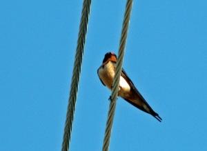Barn Swallow PS 1508
