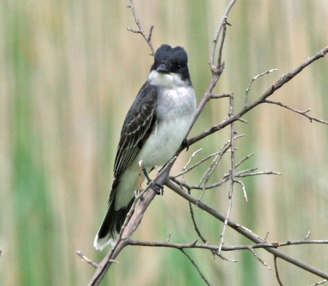 Eastern Kingbird. Photo by P. Vankevich