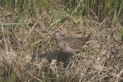 Willet in breeding plumage on Ocracoke.