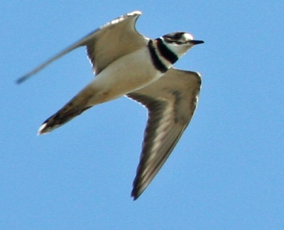 Killdeer in flight PS crop IMG_3060