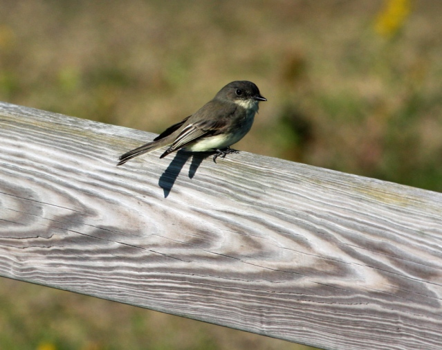 Eastern Phoebe photographed at the Ocracoke Pony pasture. Photo by P. Vankevich