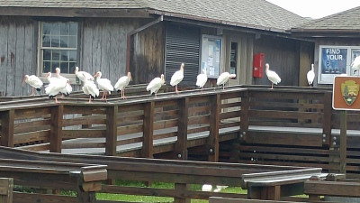 white Ibis taking refuge at the NPS Visitor. Photo by P. Vankevich