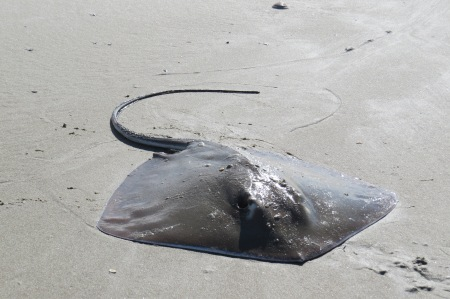 The sting ray caught by James Joyce.
