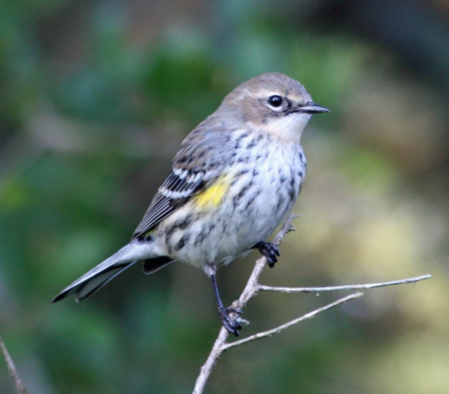 Yellow-rumped Warbler_MG_PS_4892