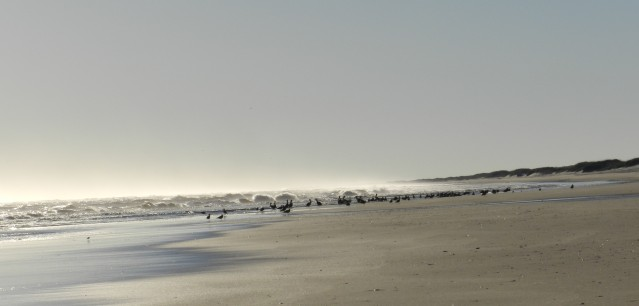 Pelicans enjoy the winter sunshine on the Cape Hatteras National Seashore at the north end of Ocracoke.