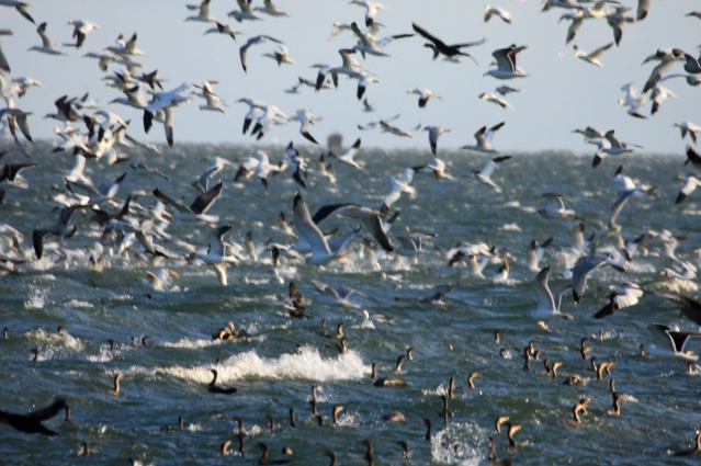 Northern Gannets and Double-crested Cormoratns on Ocracoke. Photo by P. Vankevich