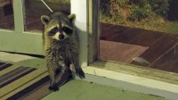 This just in... literally. Doing some late night work in the Ocracoke Observer office, i.e. my porch, when this guy showed up to hit the cat dish.
