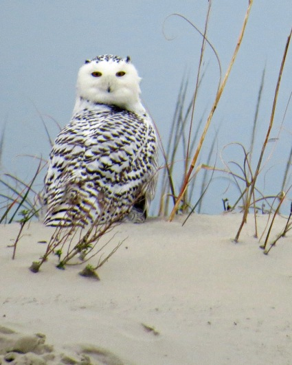 Snowy Owl seen on Ocracoke Christmas Bird Count, Dec 31, 2013. Photo by Peter Vankevich