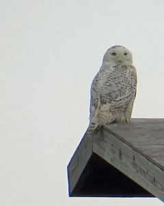 Snowy Owl at the Ocracoke airport. Photo by P. Vankevich