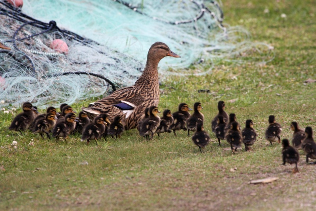 Mallard family in the village. Photo by P. Vankevich