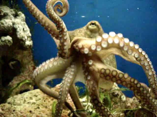 An octopus. Photo courtesy of Wiki Commons.