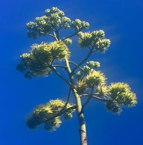 Seymour blooms. Photo: C. Fiore