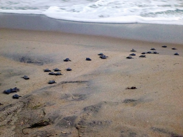 Baby loggerheads head out to sea. Photo courtesy of Elizabeth Browning Fox.
