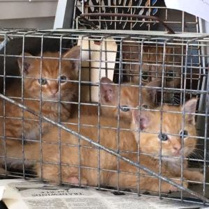 Ocrakittens await spay or neuter surgeries. Photo by Alice Creech Wilson, a visiting volunteer.