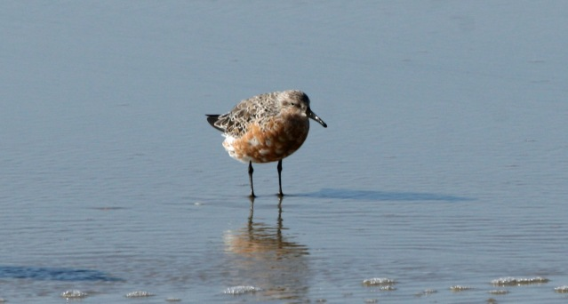 Red Knot in breeding plumage on Ocracoke. Photo by P. Vankevich