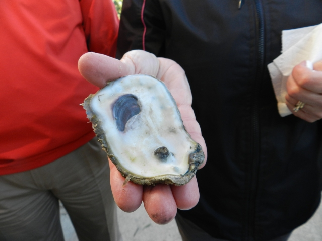 A budding purple pearl can be seen in the lower part of this oyster shell. Photo: C. Leinbach