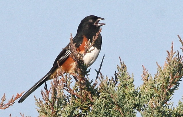 Eastern Towhee with pale eye photographed on Ocracoke. Photo by P. Vankevich