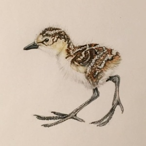 A drawing of a precocial Pectoral Sandpiper Chick by Marky Mutchler.
