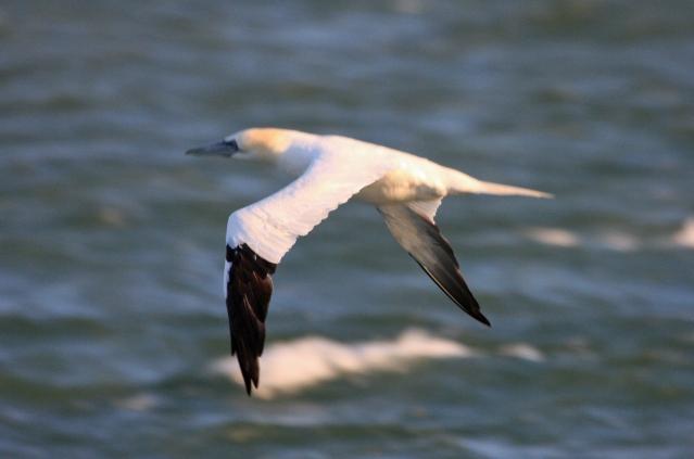 northern-gannet-ps-crop-img_6952