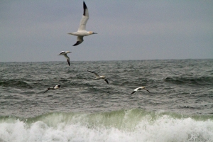 Gannets flying off of Ocracoke Island. Photo by P. Vankevich