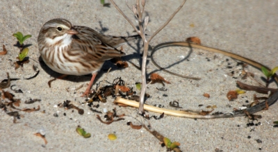 Savannah Ipswich Sparrow seen in the dunes of Ocracoke. Photo by P. Vankevich