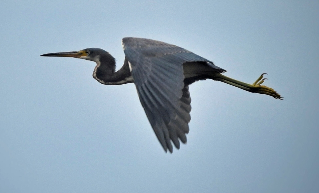 Tri-colored Heron. Photo by Marky Mutchler
