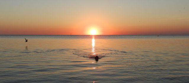 An island chocolate Labrador retriever cools off in the calm waters off Springer's Point, Ocracoke, NC. Photo: C. Leinbach